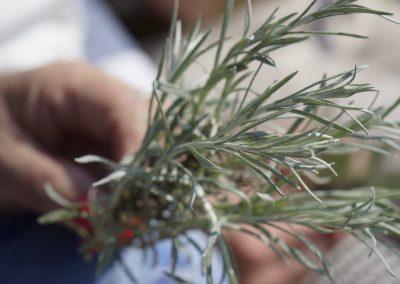 Kerrieplant