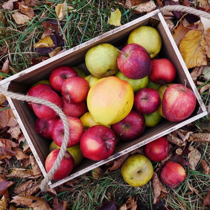 appels plukken bij de Olmenhorst met Stichting ZaaiGoed